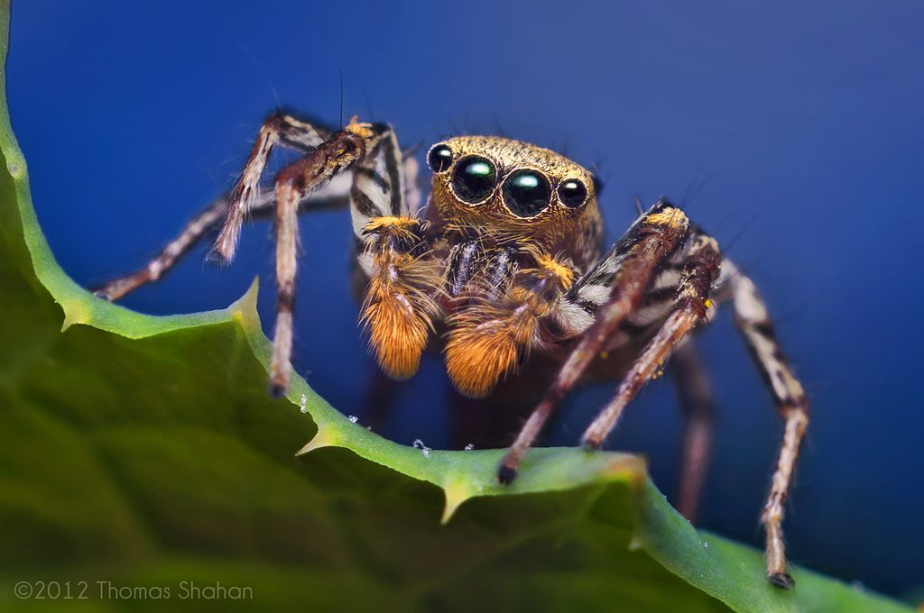 Male Dimorphic Jumping Spider
