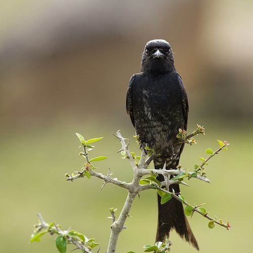 01 The Aggressive Black Drongo, por VinothChandar