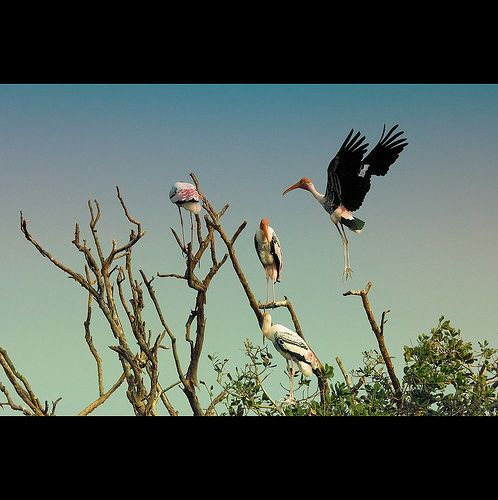 Painted stork returns home!, por VinothChandar
