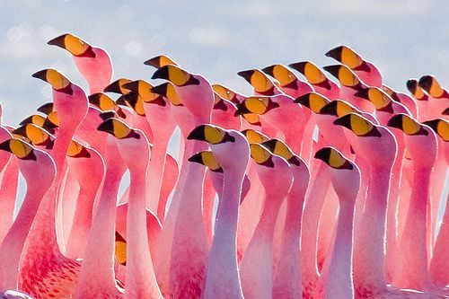 Flamingos Partying, por szeke