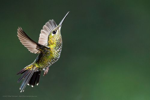 Female Green-crowned Brilliant, Heliodoxa jacula, por mikebaird