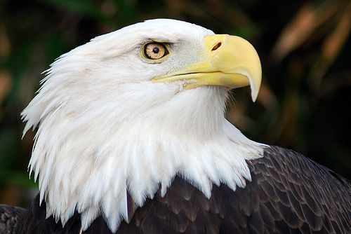 Bald Eagle, por Pen Waggener
